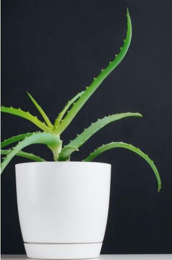 Photo of Aloe