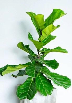 Photo of Fiddle Leaf