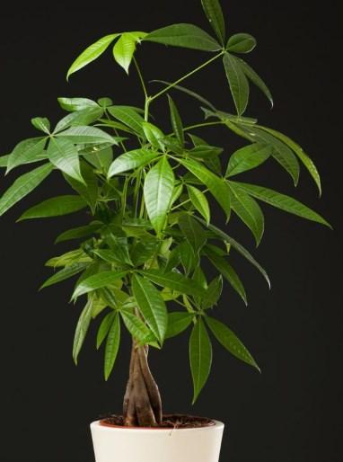 Photo of Guiana Chestnut